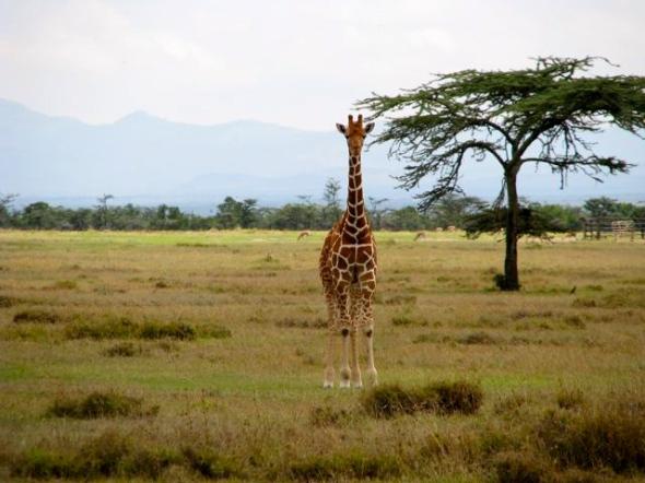 Rothchilds Giraffe